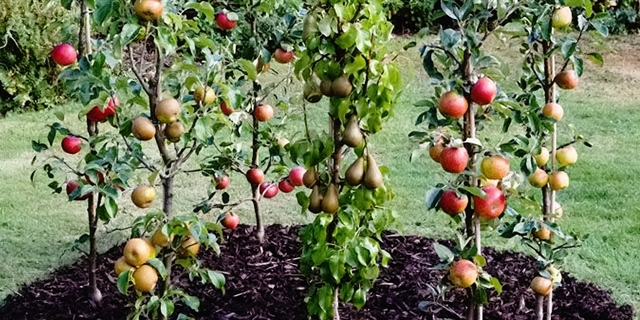 Плодовые деревья с пирамидальными кронами