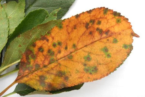 Больные листья вишни