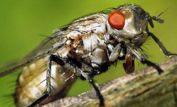 Капустная муха - вредитель капусты