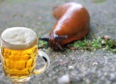 Борьба со слизнями пивом