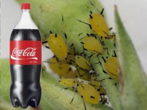 Кока-колла против тли