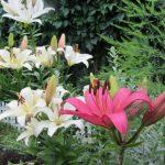 Цветение лилий