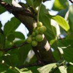 Зеленые плоды лимонника