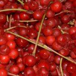Спелые красные плоды лимонника