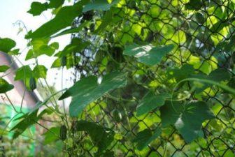Плети мелотрии на заборе