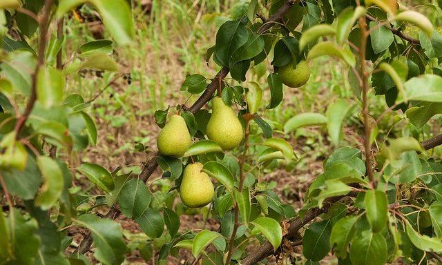 Подкормка яблонь и груш