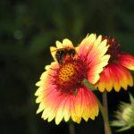 Пчела на гайлардии