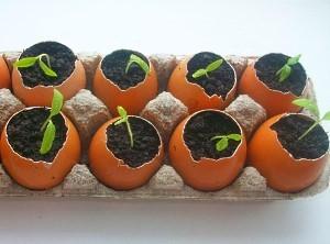 Рассада томатов в яичной скорлупе