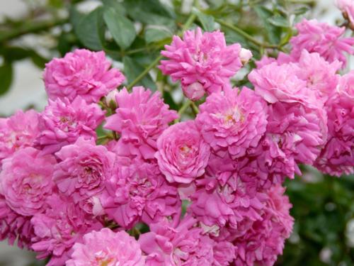 """Плетистая роза """"Дороти"""""""