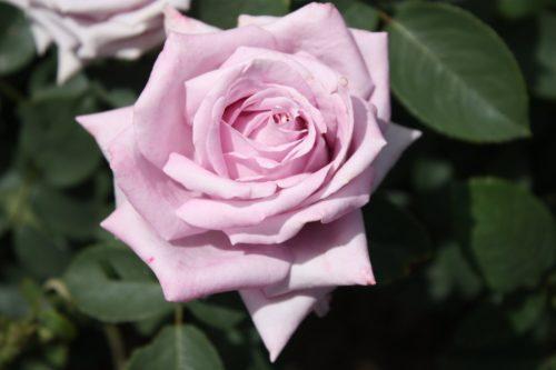 """Роза """"Индиголетта"""""""