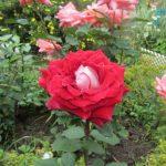 Чайная роза красная