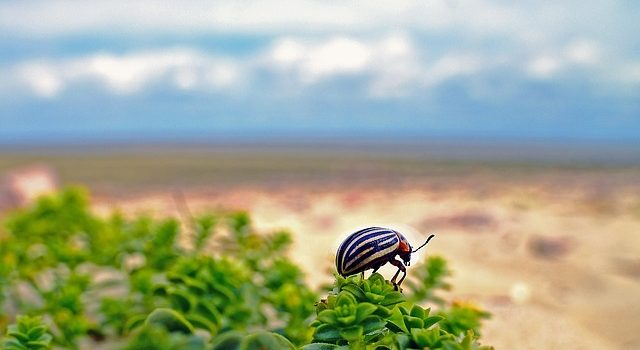 Избавиться от колорадского жука