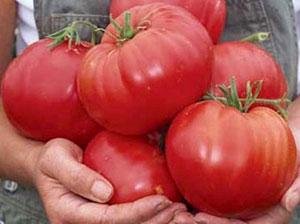 томаты Севрюга