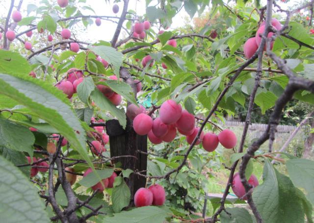 Плоды терносливы