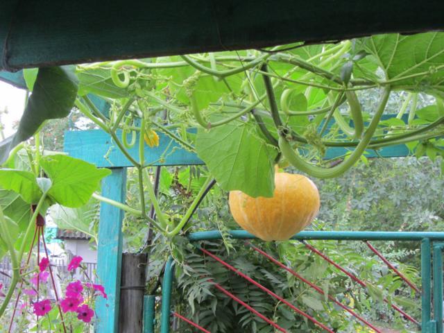 Способ выращивания тыквы