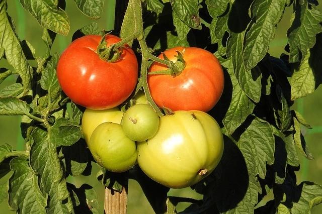 Выращиваем томаты с удовольствием