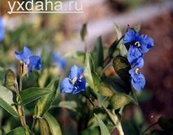 Традесканция виргинская (T. virginiana)/