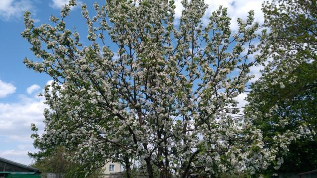 Цветущий сорт яблони - Уралец