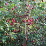 сезон вишни