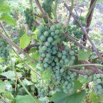 Виноград мускатный (еще зеленый)