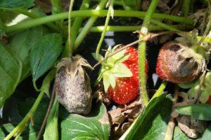 Серая гниль ягод земляники