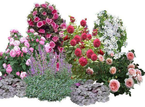 Роза в цветочной композиции сада