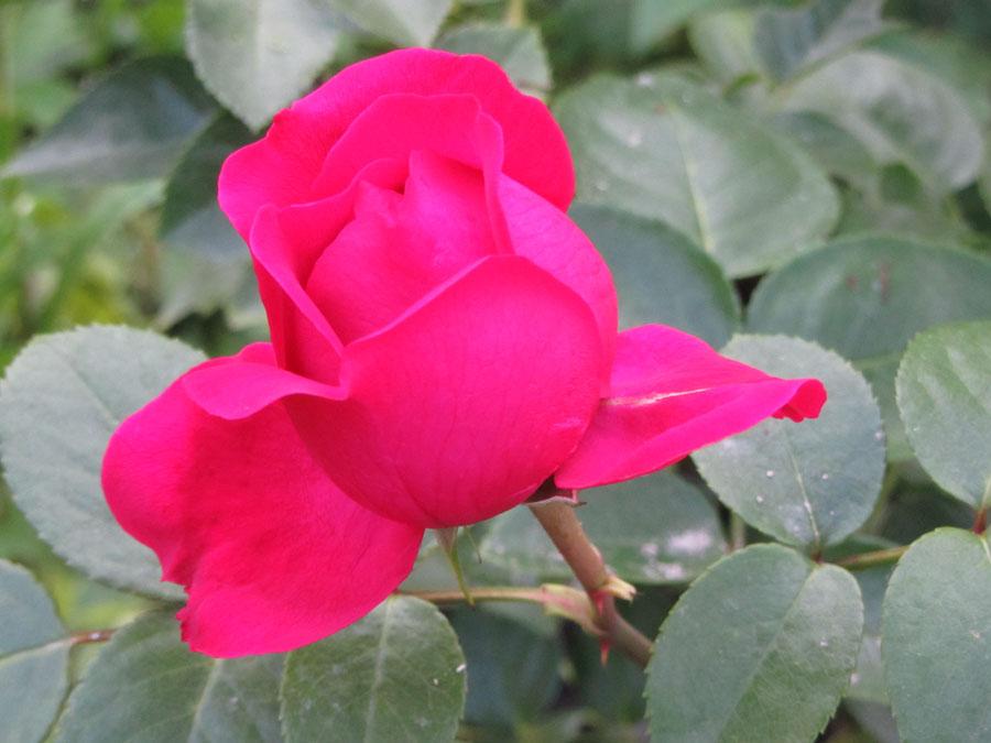 "Роза чайно-гибридная ""Элис"""