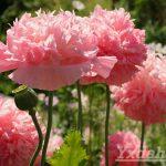 Мак розовый