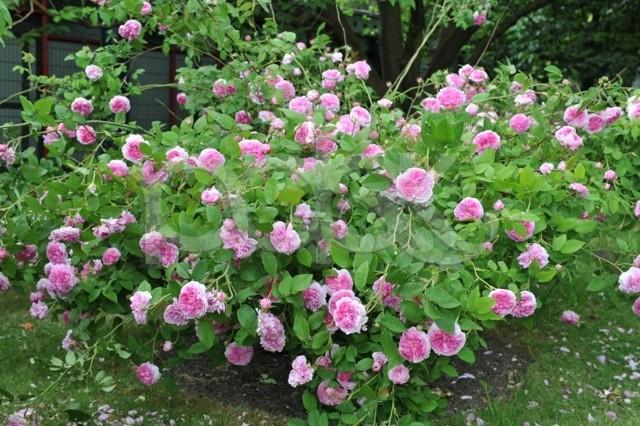 кустовая раскидистая роза