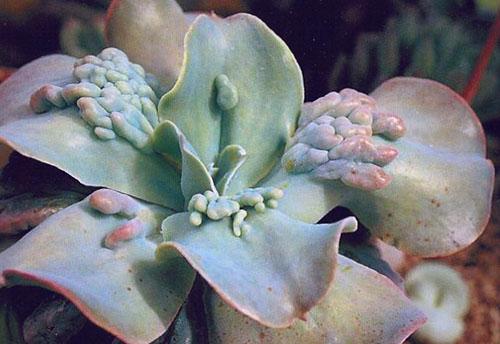 Эхеверия горбатоцветковая