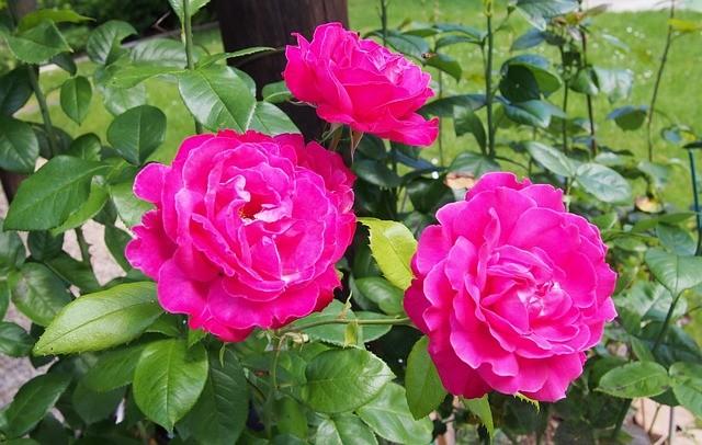 Ремонтантный куст розы