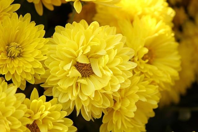 Пышное цветение хризантем
