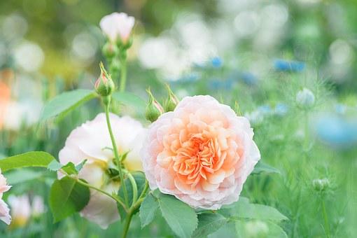 Роза в композиции