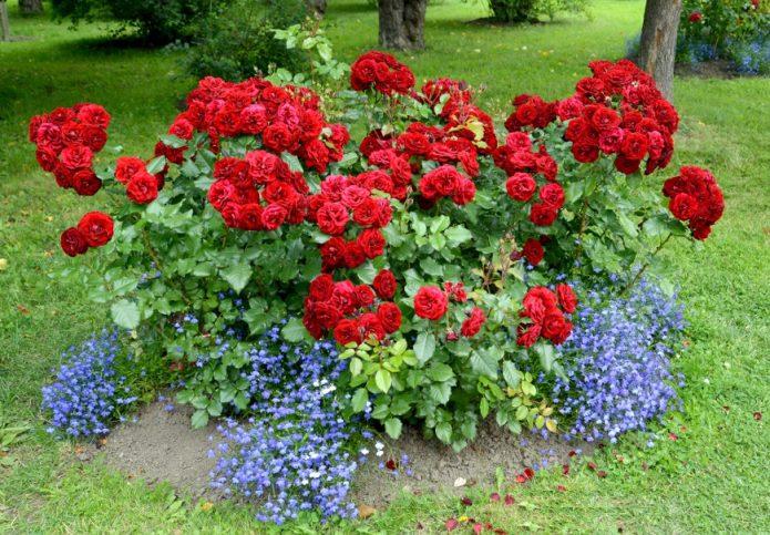 Розы в композиции