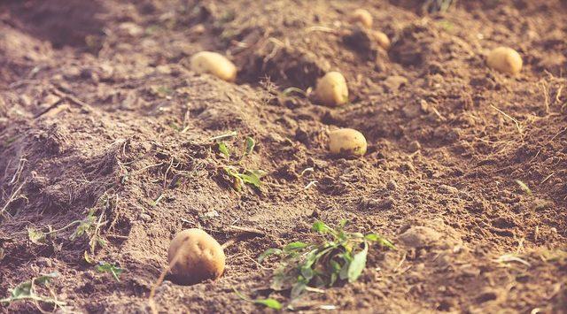 Урожай каотофеля