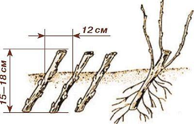 Размножение жимолости черенками