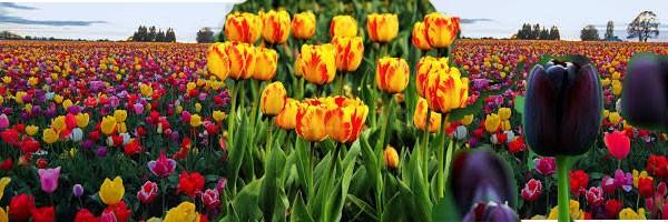 Появление тюльпанов