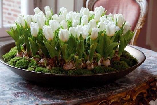Выфгонка тюльпанов