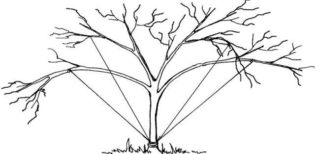Оттягивание веток плодового дерева