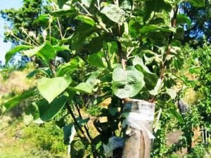 Летняя прививка плодовых деревьев