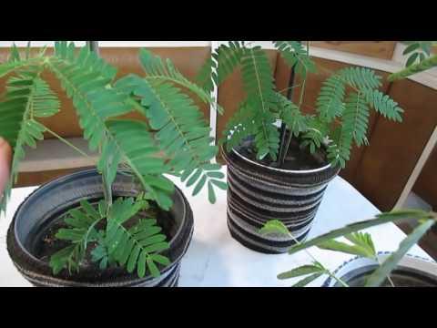 Выращивание мимозы из семян