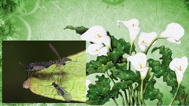 мушки сциариды га цветах