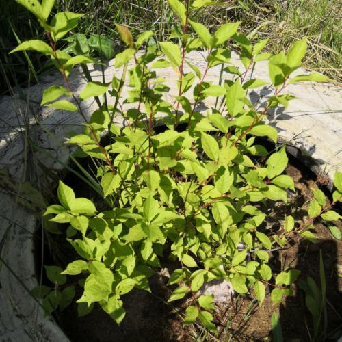 Озелененные приросты саженца сливы