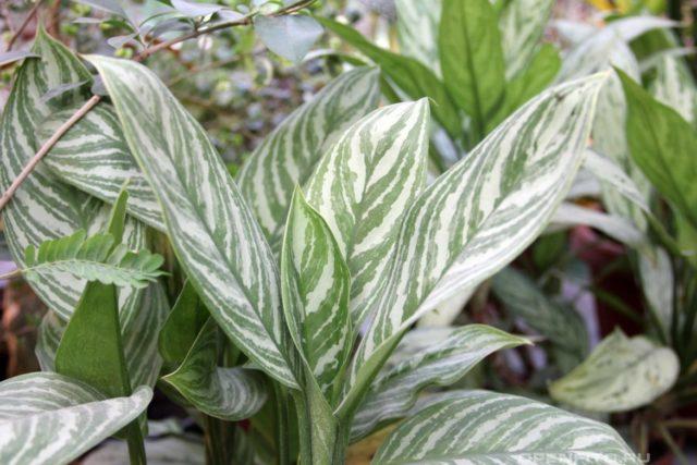 аглаонема с красивыми листьями