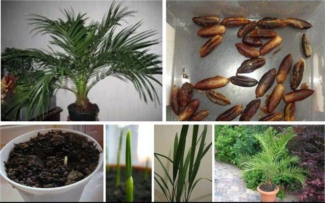 Размножение финиковой пальмы