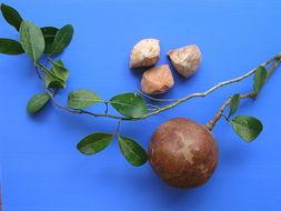 Семена ксилокарпуса
