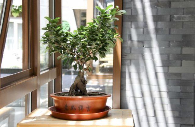 Вырастить бонсай