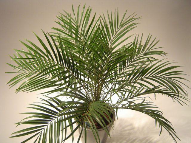 Финиковая пальма Робелента