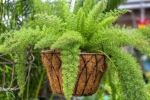 Аспарагус густоцветковый Мейера