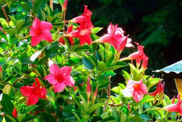 Цветущая дипладения